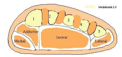 File:Compartments of the Foot.png