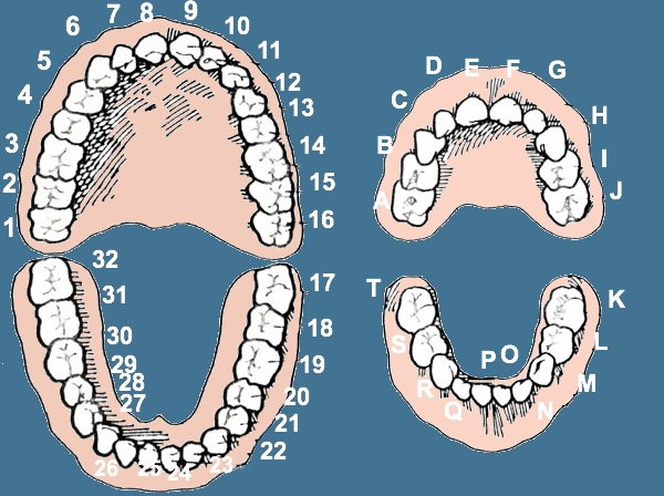 number 29 tooth - 600×448
