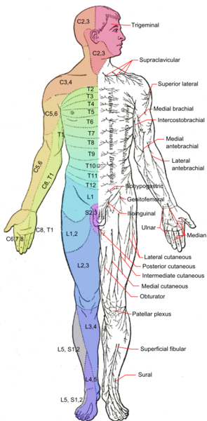 File:Dermatomes and cutaneous nerves - anterior.png